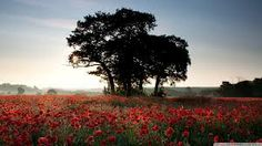 free images of poppy fields - Google Search