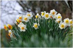 tavaszi virágok:     A nárcisz., felviditja a lelkünket már március...