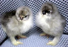 Page has images of varieties of chicks and colorings Cochin Chickens, Chickens And Roosters, Pet Chickens, Raising Chickens, Fancy Chickens, Urban Chickens, Chickens Backyard, Farm Animals, Cute Animals