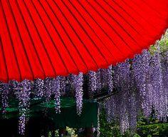 Red umbrella with wisteria--Nazra Zahri