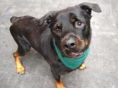 TO BE DESTROYED 08/26/14~ Manhattan Center  My name is ROCKY. My Animal ID # is A1011421. I am a male black and tan rottweiler mix. The shelter thinks I am about 11 YEARS old.  I came in the shelter as a OWNER SUR on 08/21/2014 from NY 10455, owner surrender reason stated was OWNER SICK.