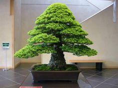 pine.jpg 500×375 pixels