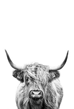 Cow Photos, Cow Pictures, Cow Pics, Cow Wall Art, Cow Art, Framed Art Prints, Poster Prints, Fluffy Cows, Highland Cow Print