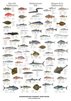 Mediterranean Sea Fish Poster nº2    illustrates 71 of the most common fish found in the Mediterranean Sea.     The average size and weight of each fish is indicated and their Latin name is translated info several languages, including English, French, German, and Spanish*.    jpg (1000×1425)    Fish  Mediterranean