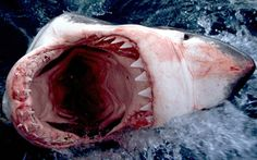 Great White Shark HD Wallpapers Backgrounds Wallpaper