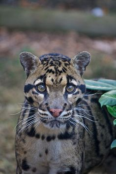 Clouded Leopard (Neofelis nebulosa) is a felid found from the Himalayan foothills through mainland Southeast Asia into China.