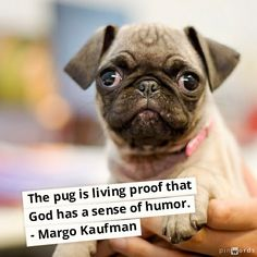 The pug is living proof that God has a sense of humor! #dogs #pug #quotes