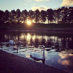 The Swan Lake #swankake#swan#igbirds#birds#inverleith#nature#naturelover#pictureoftheday#walking#inthepark#park#parksofedinburgh#edinburgh#stockbridge#thisisedinburgh#cygnet#beautiful#sunset#water#pond#sun#calm#evening#stockbridgeedinburgh