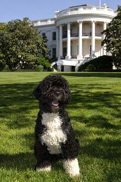 """The official portrait of the Obama family dog, """"Bo"""", a Portuguese water dog, on the South Lawn of the White House."""