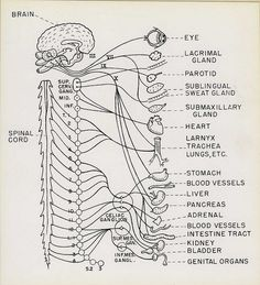 Innervations of the human body
