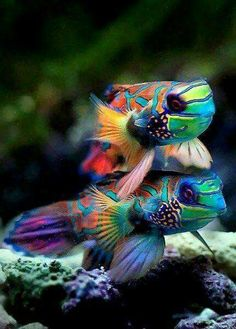 Mandarin Fish, my favorite salt water fish. I love when they eat the small coepods out of my tank. Underwater Creatures, Underwater Life, Ocean Creatures, Cool Sea Creatures, Underwater Animals, Poisson Mandarin, Mandarin Fish, Pretty Fish, Beautiful Fish