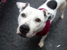 Meet ISSY a Petfinder adoptable Pit Bull Terrier Dog | New York, NY | A volunteer writes:   Looking for a snuggle buddy?   Look no further, as Issy's favorite thing to...