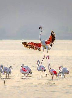 Fantastic look like Flamingos Pretty Birds, Love Birds, Beautiful Birds, Animals Beautiful, Animals And Pets, Cute Animals, Greater Flamingo, Pink Bird, Little Birds