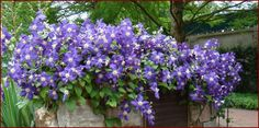 climbing flower with large purple star shaped blooms - Google Search