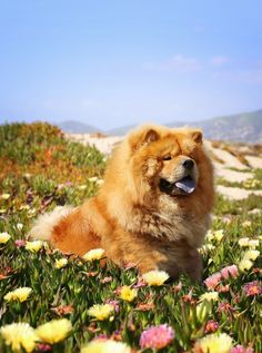 First Puppy I purchased for myself + petland+ Huntington, wv Shelby Baby Bear + when I look at this pic. I think of her waiting for me to come to Heaven and She will come running to me All Dogs, Best Dogs, Dogs And Puppies, Doggies, Lion Dog, Dog Cat, Animals And Pets, Cute Animals, Chow Chow Dogs