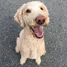 Smile Poodle, smile :)