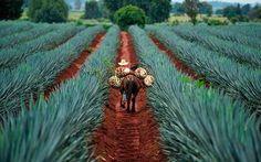 Viajes y paquetes de la ruta del tequila, costos y recorridos de la ruta del tequila, tours y rutas, artesanía y gastronomía, la ruta del tequila en jalisco