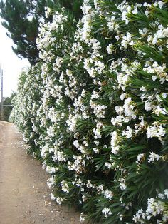 Oleander -can't wait to see it in my backyard after seeing it everywhere in Italy!
