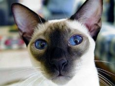 siamese cats - Google Search