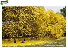 ต้นเหลืองอินเดีย ไม้ดอกหายาก ดอกสวย ปลูกง่าย ส่งไปรษณีย์จาก ไร่ชวนฝัน ถึงบ้านคุณ