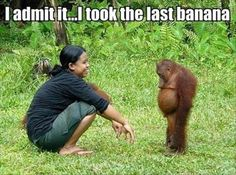 I admit it - I took the last banana.  Orangutan  - monkey