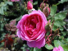 Englische Rose John Clare ® Auscent ® Züchter David Austin 1994