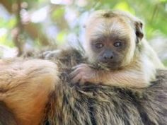 Baby Howler Monkey | Monkeyland Primate Sanctuary, Plettenberg Bay Activities, Garden Route Adventures, South Africa