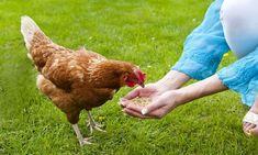 10 aliments interdits aux poules