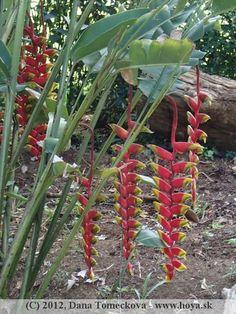 Heliconia Botanical Gardens, Sri Lanka, Flowers, Plants, Plant, Royal Icing Flowers, Flower, Florals, Floral
