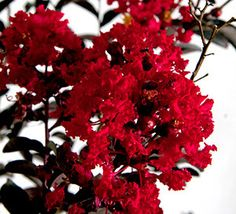 1000 images about cm delta flame 8 ft on pinterest buy - Decorative trees with red leaves amazing contrasts ...