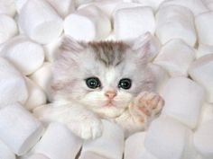 :) kitty cat love snow pretty animals cute adorable fluffy white cats kitten animal so cute sweet feline kittens felines kitties paw marshmallows marshmallow nice cat babycat thecatalogues