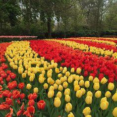 Oltre 4 milioni di tulipani in 100 varietà diverse per i Giardini di Keukenhof il più grande parco botanico di fiori a bulbo del mondo. Siete ancora in tempo per visitarlo questanno resterà infatti aperto fino a metà maggio ovviamente in Olanda  #MCBlooming #RedazioneMcInVacanza #Netherlands #Igersholland #Keukenhof #Keukenhofgarden #flowerstagram #Tulipani  via MARIE CLAIRE ITALIA MAGAZINE OFFICIAL INSTAGRAM - Celebrity  Fashion  Haute Couture  Advertising  Culture  Beauty  Editorial…