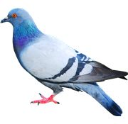 Pigeon PNG Images On this site you can download free Pigeon PNG image with transparent background.