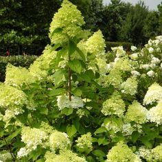 Hortensia Paniculata Limelight - 1 heester kopen veilig online bestellen