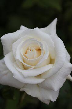 Rosa / Rose  PLUS   QUE PARFAIT