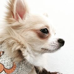 Good night & sleep tight IG friends  ________________________________________________________#my_loving_pet #dog_features #excellent_dogs #iganimal_snaps #igclubdogs #poshpamperedpets #instagrampetphotos #petfancy #cutepetclub #sendadogphoto #showcasing_pets #bestwoof #weeklyfluff #animaladdicts #lacyandpaws #animaldisplay #topdogphoto #pawsandpaws by baileythechiwawa