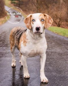 Meet Sparkles, an adopted Catahoula Leopard Dog & Treeing Walker Coonhound Mix Dog, from Louie's Legacy Animal Rescue in Cincinnati, OH on Petfinder. Learn more about Sparkles today. Treeing Walker Coonhound, Rescue Puppies, Blue Merle, Cincinnati, Animal Rescue, Labrador Retriever, Adoption, Best Gifts, Leopard Dog