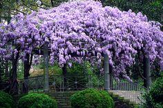 wisteria gazebo