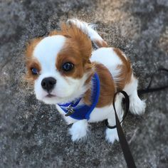 "1,564 Likes, 35 Comments - Rhett Muttler The Cavalier (@rhettmuttler) on Instagram: ""It was windy on this morning's walk! . . . . . #rhettmuttler #17weeks #cav #cavs #cavpup…"""
