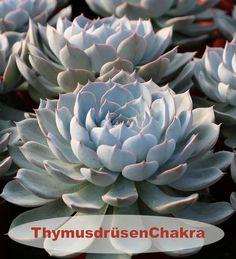Farbe = türkis Element = LebensEnergie Aromen = Salbei Steine: Türkis, Chrysokoll Succulents, Plants, Sage, Stones, Nature, Succulent Plants, Plant, Planets