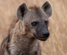 Spotted HyenabySergey Agapov