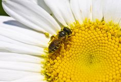 A bee hangs out on the center of a daisy