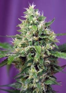 """#Novedad: Blow Mind Auto de Sweet Seeds. Versión auto 4ª Gen. de la Amnesia Haze cordobesa. http://kaya.es/es/sweet-seeds/6644-blow-mind-auto-feminizada.html  Autofloreciente de 4ª generación. Para el desarrollo de esta variedad Sweet Seeds ha utilizado el famoso clon de Amnesia Haze """"Cordobesa"""".  #mmj #medicalmarijuana #mmot #thc #cbd #hemp #pot #ganja   #BuenosHumos #cannabis #marihuana #weed #goodvibes #bless #BuenaVibra"""