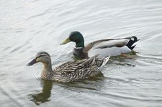 Pair of mallard ducks swimming in Creve Coeur Lake. #stlconature