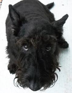 Black Scottish Terrier | Scottish Terrier Information, Pictures of Scottish Terriers | Dogster