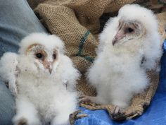 baby owls .what?