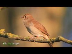 """▶ A Nightingale Bird: """"Singing.""""  (N.B: Nightingales have a repertoire of 1,160 syllables compared to 108 for The Blackbird, and 341 for The Eurasian Skylark.)"""