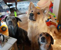All three were rescued from a high kill shelter and are now spoiled rotten!!Bless the owner