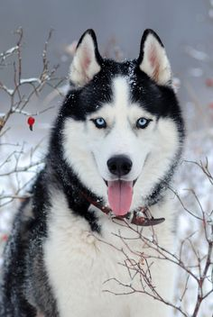 Puppy Discover 22 Healthiest Dog Breeds With Long Lifespans Siberian Husky Winter Snow Branches Cute Husky Puppies, Puppy Husky, Siberian Husky Dog, Cute Dogs, Dogs And Puppies, Huskies Puppies, Baby Huskies, Malamute Puppies, Husky Mix