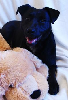1/21/14 STILL AVAILABLE.  Jori is brand new to rescue. She was taken in after a stay at our local city pound. This young girl has had quite a rough start. At only 1.5 years old, she shows evidence of having a litter of puppies in her past. Jori came into rescue a very soft...